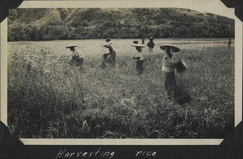 WWII PI harvesting rice
