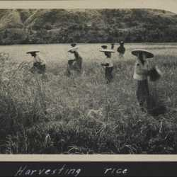 WWII PI harvesting rice