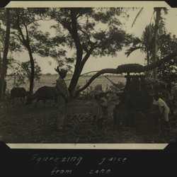 WWII PI sugarcane 1