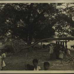 WWII PI sugarcane 2