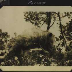 WWII Claiborne possum